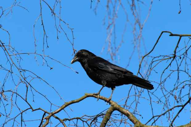 black crow bird